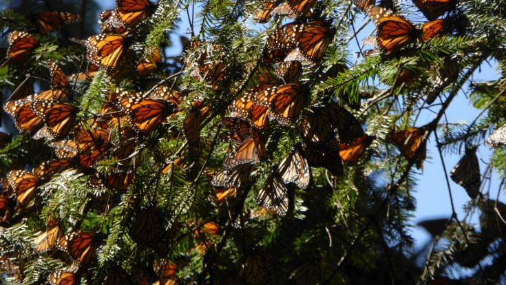 Winter forests covered in butterflies