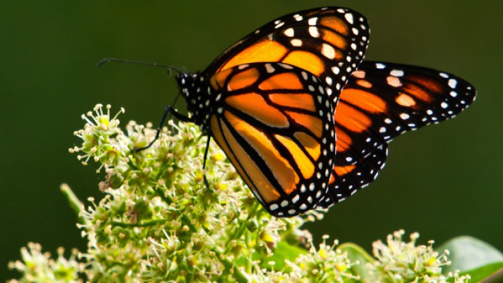 Monarch Butterfly Cultural Festival